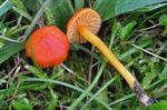 Bitter Waxcap (Hygrocybe mucronella)